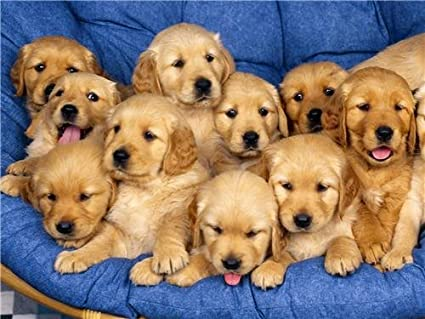 Amazoncom Golden Retriever Puppies Glossy Poster Picture Photo