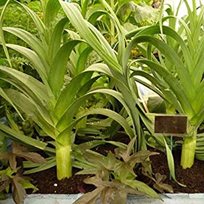 Airrais 50/100Pcs Giant Green Leek Seeds Healthy Food Organic Vegetable Seeds Home Garden Plants Green Onions Vegetables : Garden & Outdoor