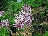 1 Starter Plant of Syringa Josee Lilac