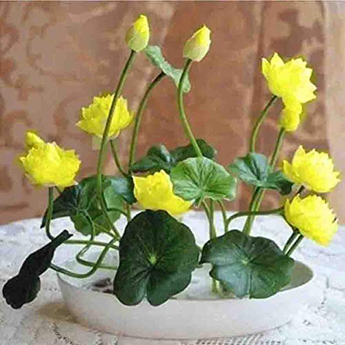 - Dwarf Water Lotus Bowl Pond Bonsai Seeds 10+ for Home Garden Yard Decor (Yellow)
