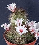 Mammillaria Fraileana, Cactus Seed 20 Seeds ecc03