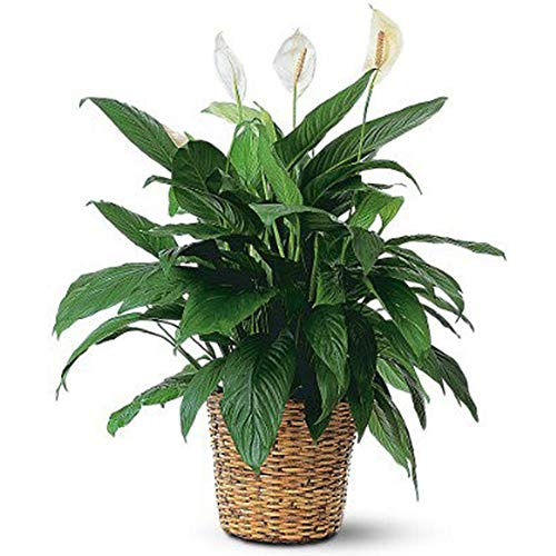 "AMPLEX Spathiphyllum Peace Lily Live Plant, 6"" Pot, Indoor/Outdoor Air Purifier!"
