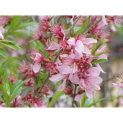New Russian Almond, Prunus tenella, 4 + Shrub Seeds ( Fast, Showy, Edible, Hardy ) : Garden & Outdoor