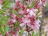 New Russian Almond , Prunus tenella , 4 + Shrub Seeds ( Fast , Showy , Edible , Hardy )