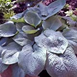 "hosta ELEGANS large sieboldiana blue disease-free 3"" pot ☆1 Live Potted Plant☆"