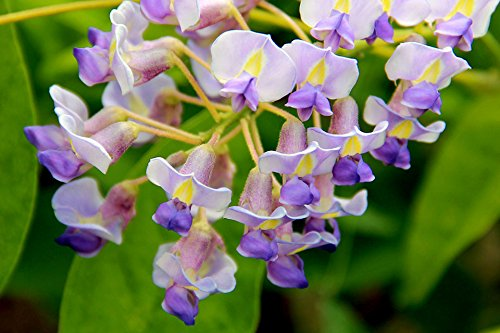 BLUE MOON WISTERIA VINE - FRAGRANT FOOT LONG FLOWERS - ATTRACTS HUMMINGBIRDS - 2 - YEAR PLANT by Japanese Maples and Evergreens (Image #4)