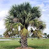 SABAL PALMETTO CABBAGE PALM hardy BULK 100 seeds