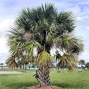 SABAL PALMETTO, CABBAGE PALM cold hardy 50 seeds
