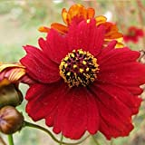 David's Garden Seeds Flower Coreopsis Tall Red 5113 (Red) 500 Non-GMO, Open Pollinated Seeds