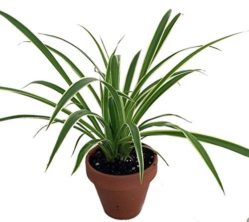 Hirt's Reverse Variegated Spider Plant - 4