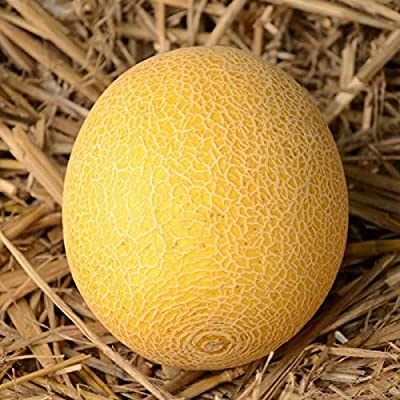 'Galia Melon (25 Seeds) Fresh This Season''s Harvest' : Garden & Outdoor
