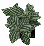 "Parallel Peperomia puteolata - 4"" Pot - Easy to Grow House Plant"