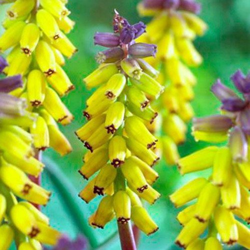 'Yellow Fragrance' Grape Hyacinth - 4 Bulbs - Muscari - 9/+ cm Bulbs free shipping
