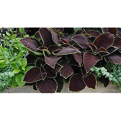 Fresh 40 seeds - Coleus Chocolate Mint Flower Seeds : Garden & Outdoor