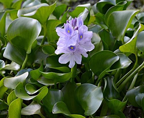 Water Hyacinth Floating Pond Plant - Pond Flower - Koi Pond Plants (12)