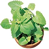 Burpee Common Catnip Seeds 1500 seeds