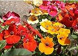 200 Bulk Seeds Nemesia Flower Seeds Flower Garden Plant