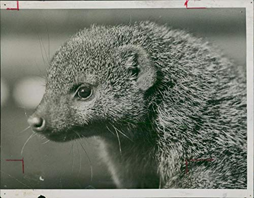 Vintage photo of Zebra Mongoose. for sale  Delivered anywhere in USA