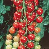 Burpee Super Sweet 100' Hybrid Cherry Tomato, 3 Live Plants, 2 1/2'' Pot