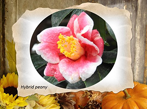 Used, Peony Hybrid 2017: Paeonia for sale  Delivered anywhere in Canada
