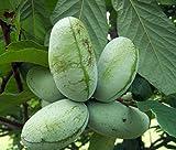 Paw Paw Trees - 2 Plants - Banana Fruit - Asimina triloba - Pawpaw - 3.25'' Pot