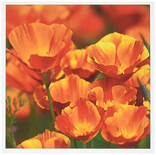USA, Washington, Seattle, California Poppies in Bloom - Greeting Cards, 6 x 6 inches, set of 12 (gc_192032_2)
