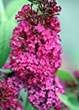 """Buddleia x Miss Molly Butterfly Bush - Sangria Red -Proven Winners- 4"""" pot"""