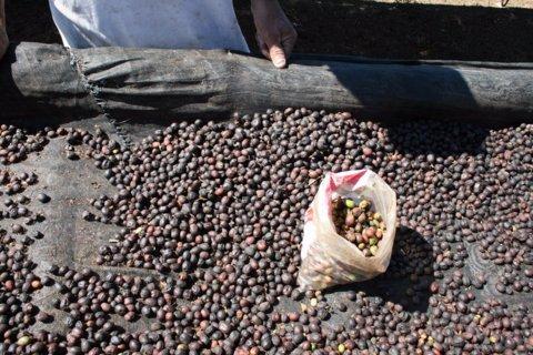 5LB El Salvador Finca El Carmen Natural Unroasted Green Coffee Beans