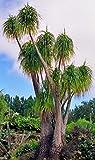 Beaucarnea guatemalensis | Curly Nolina | Izote macho real | 10_Seed