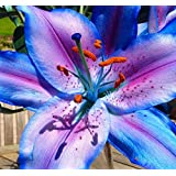 Plentree Seeds Package: Buy 3 Get 2 Free Rare Blue Lily Bulbs 2 Pcs Mixed Bonsai Lily Bulb Pleasant