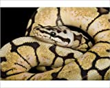 Photographic Print of Royal / Ball Python - Pastel Bumblebee mutation