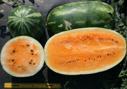 12 Tendersweet Orange Watermelon Seeds Fruit Seeds
