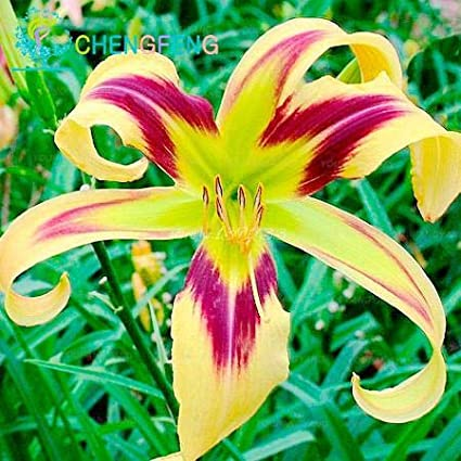 Pinkdose 100 flores de lirios plantas hermosas flores bons/ái plantas de plantas interior y exterior jard/ín de flores decoraci/ón Rosa