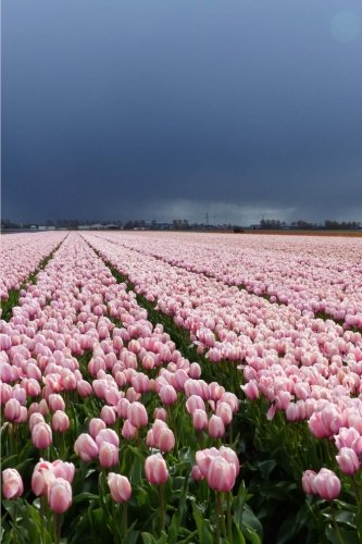 View of a Lovely Pink Tulip Field in the Netherlands Journal: 150 Page Lined Notebook/Diary (Florist Netherlands)