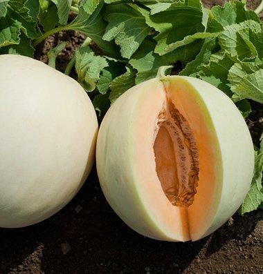 David's Garden Seeds Fruit Melon Honey Orange (Orange) 25 Hybrid Seeds