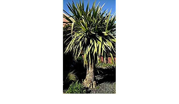 Very Hardy! PLANT PALM TREE Yukka 15.SEEDS Outdoor Garden Tropical!Name Unknown