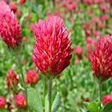 Crimson Clover Seeds, Raw Seeds, 1 Pound