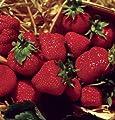 100 Stratisfied Jewel Strawberry Seeds