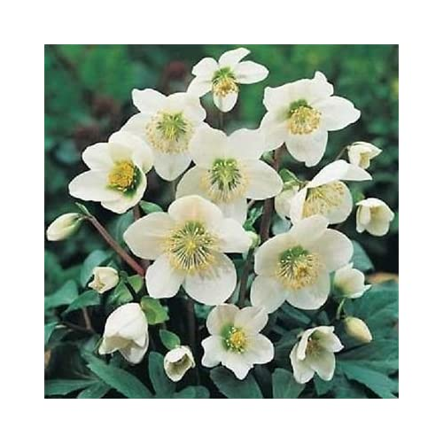 Cheap HELLEBORUS SEEDS CHRISTMAS ROSE hellebores 25 Seeds for sale