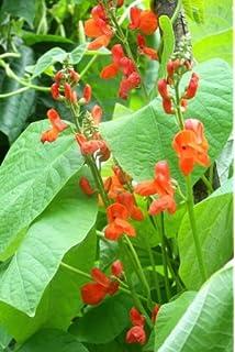 Pack Kings Seed Vegetable Seeds Runner Beans /'Scarlet Emperor/'
