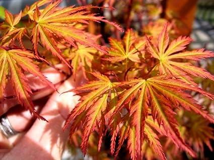 Amazon.com: Wou Nishiki - Planta de arce japonés 2 años ...