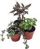 "Terrarium & Fairy Garden Plants - 3 Plants in 2"" pots"