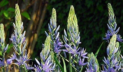 - 25 CAMASSIA,Wild Hyacinth Bulbs( CAMASSIA Esculenta ) blue star-shaped flowers
