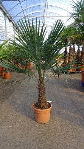 - Winterharte Palme - Trachycarpus fortunei