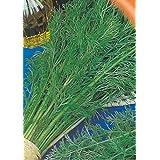 Dill Lesnogorodsky Seeds Ukrainian Heirloom NON-GMO, Organically Grown