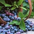 100pcs Blueberry Fruit Seeds, Vitamin C Rich Fruit Double As Outdoor Bonsai Planting Decor