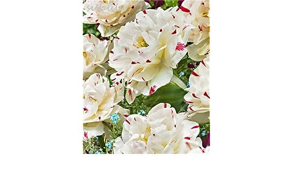 Gladiolus Bulb Rare flower Beautiful Perennial Blooming Bonsai Beautiful Bouquet