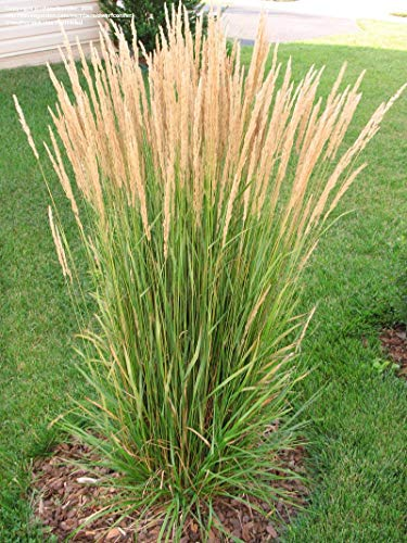 - Live Feather Reed Grass aka Calamagrostis acut. 'Karl Foerster' Plant Fit 1 Gallon Pot