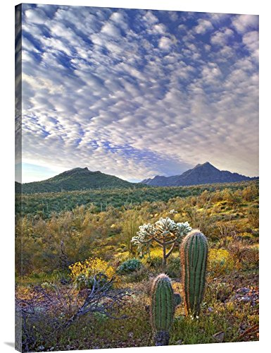 (Global Gallery Budget GCS-395936-36-142 Tim Fitzharris Saguaro and Teddybear Cholla Amid Flowering Lupine and California Brittlebush Gallery Wrap Giclee on Canvas Wall Art Print)