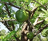 Calabash Tree Seeds (Crescentia cujete) 4+ Rare Seeds + FREE Bonus 6 Variety Seed Pack - a $29.95 Value! Packed in FROZEN SEED CAPSULES for Growing Seeds Now or Saving Seeds For Years